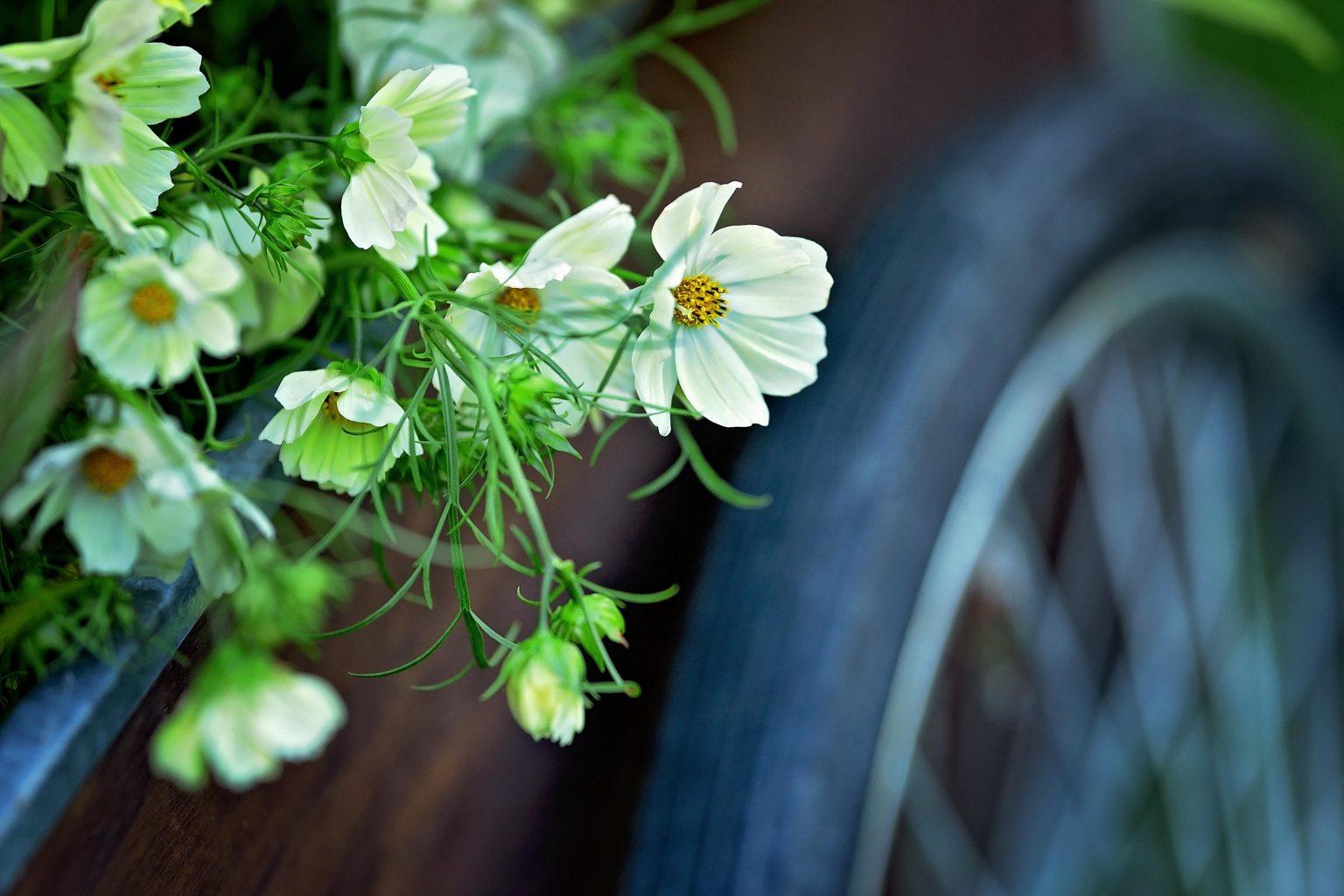 fleurs blanches et roue