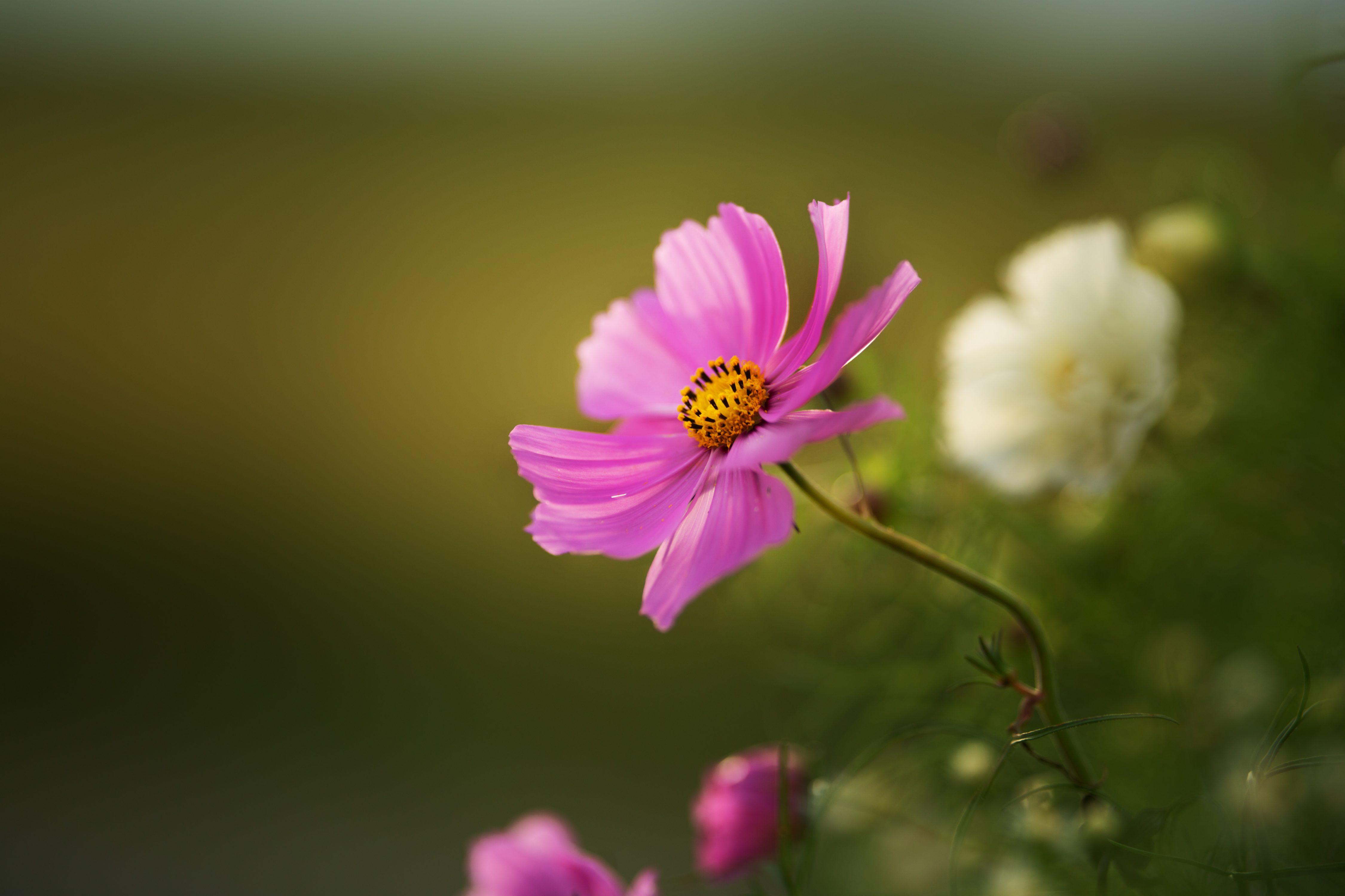 Fleurs roses points de vente